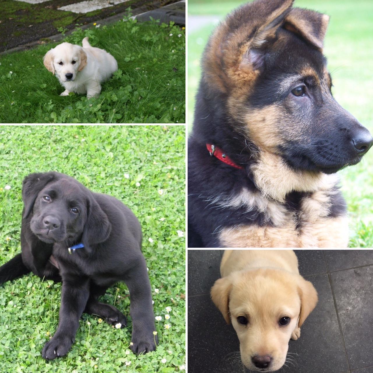 le guide des dons et legs recherche familles d accueil pour chiots futurs chiens guides d aveugles. Black Bedroom Furniture Sets. Home Design Ideas